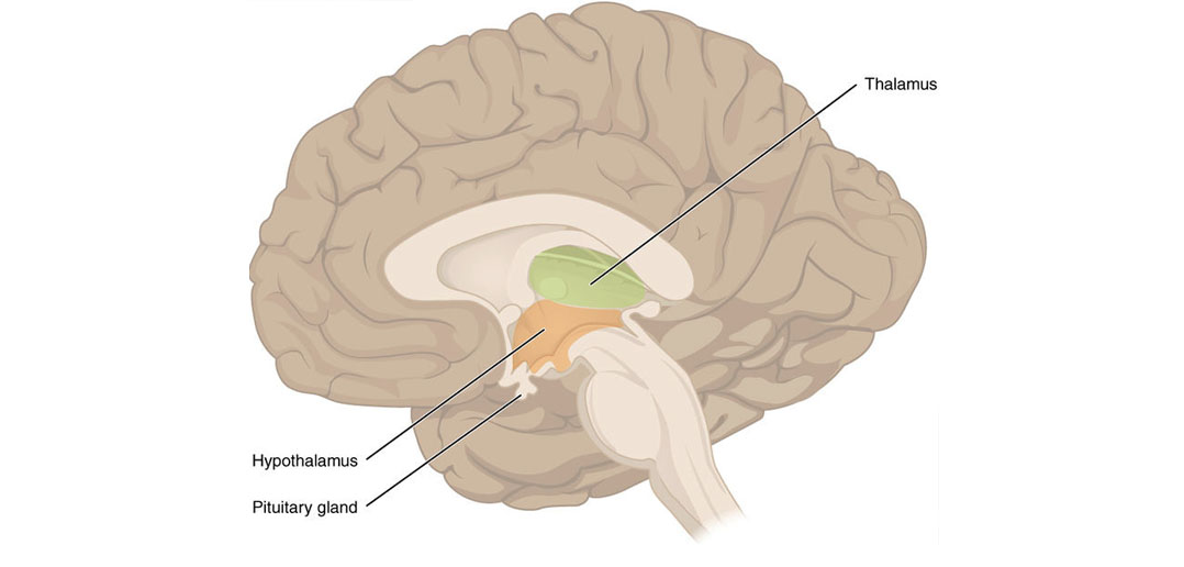 Study Finds Brain Region Known As The Thalamus Enhances And Stores