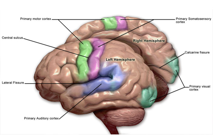 Primary Motor Cortex Contributes To Word Comprehension Study Finds