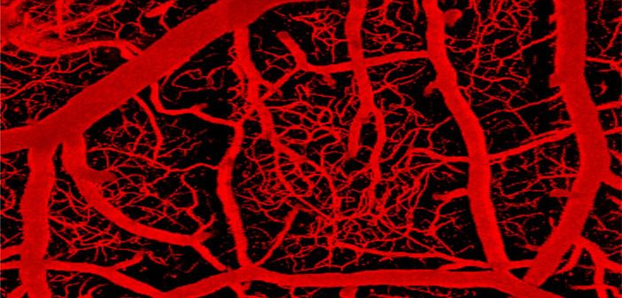 Electrical 'switch' in brain's capillary network monitors activity and controls blood flow