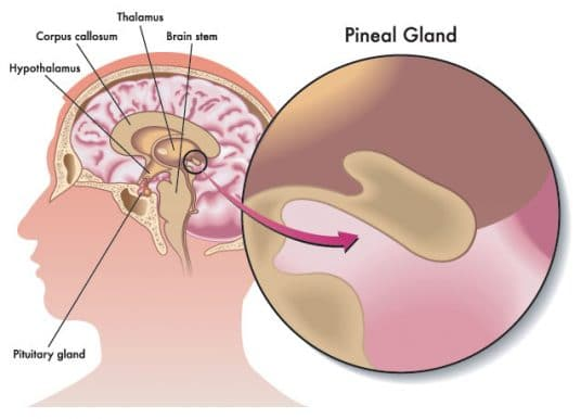 No reason to believe the pineal gland alters consciousness by secreting DMT, psychedelic researcher says