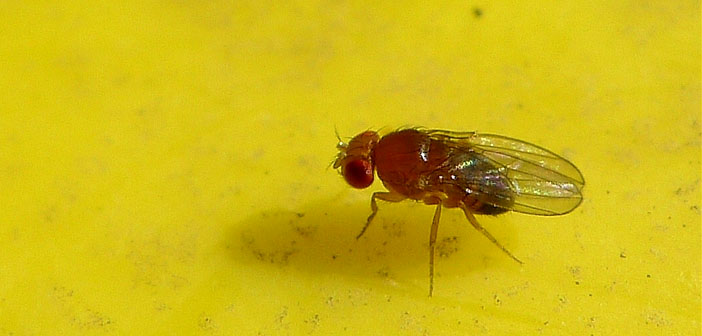 Do fruit flies have emotions?
