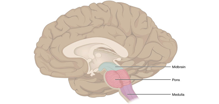 Researchers discover how midbrain map continuously updates ...