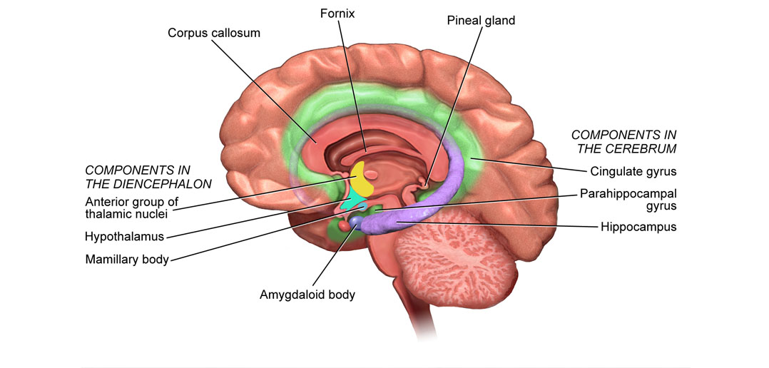 Corpus Callosum Hypothalamus Diagram - Wiring Library •