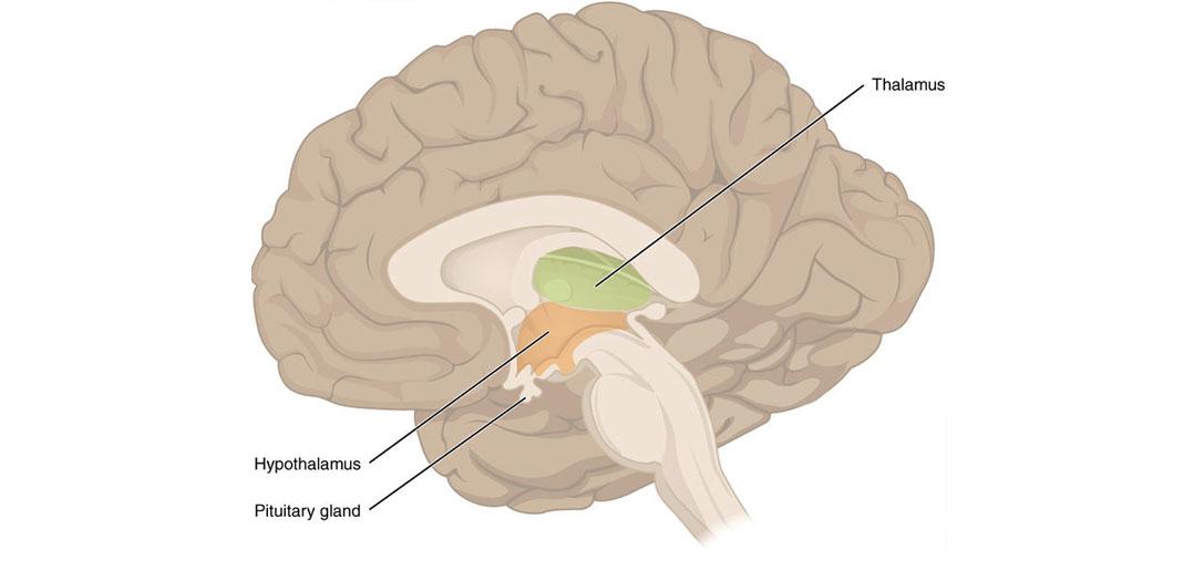 Decision-making involves a little known brain region called the submedius thalamic nucleus