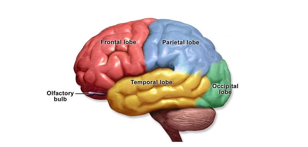 Risk Avoidance In Older Adults Is Related To Brain Anatomy Not Age