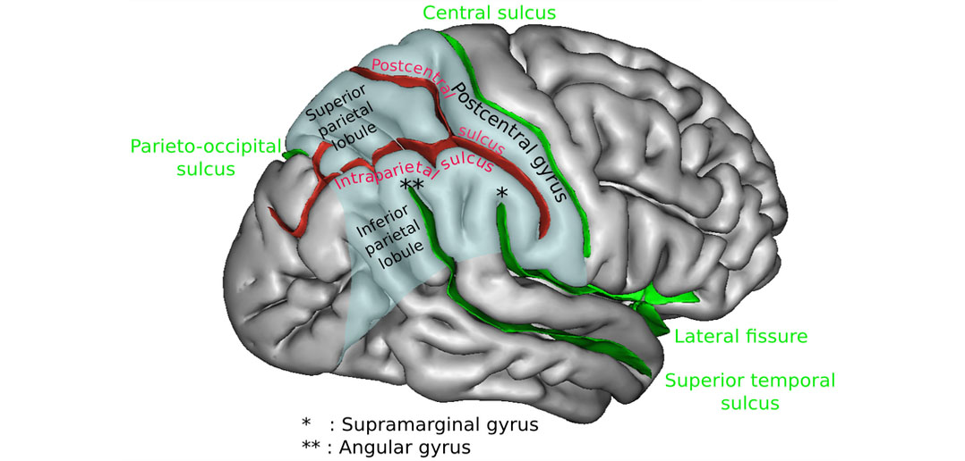 Researchers pinpoint part of the brain that recognizes ...