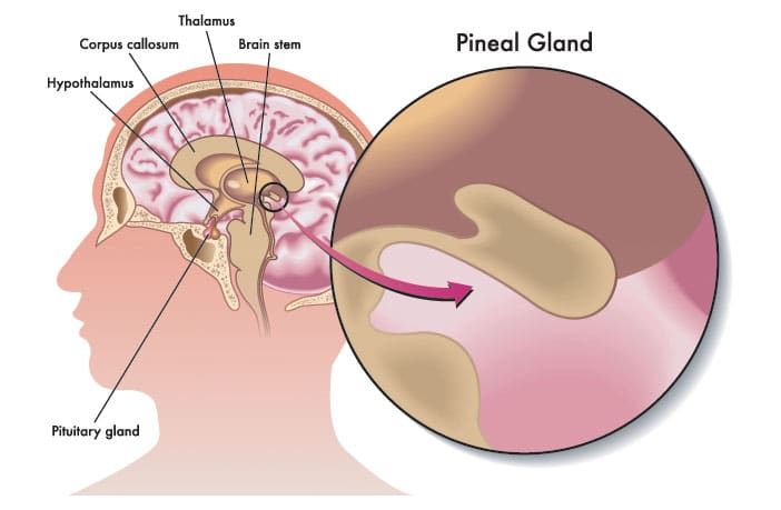No reason to believe the pineal gland alters consciousness by no reason to believe the pineal gland alters consciousness by secreting dmt psychedelic researcher says ccuart Gallery