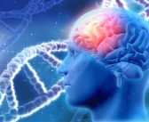 Genetics may influence intelligence by contributing to the development of larger brains